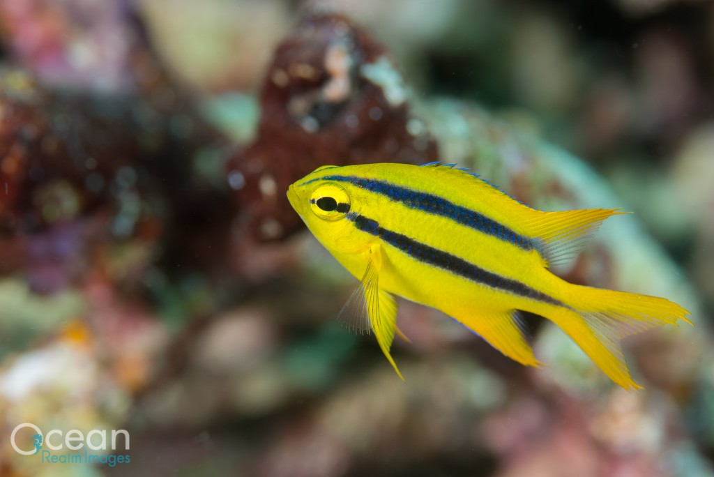 A juvenile yellow tail damsel.