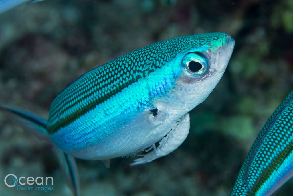 Blue-streaked Fusilier with a cymothoid isopod parasite under its chin.