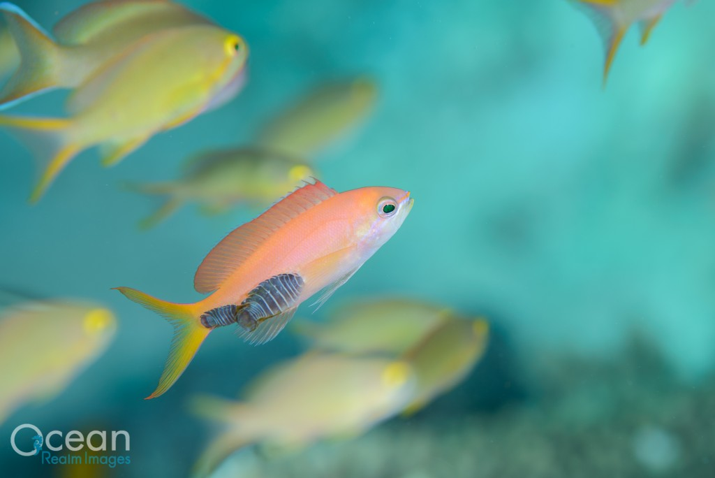 An anthias with a mated pair of parasites. These were living only in this location on the rear flank of the fish.