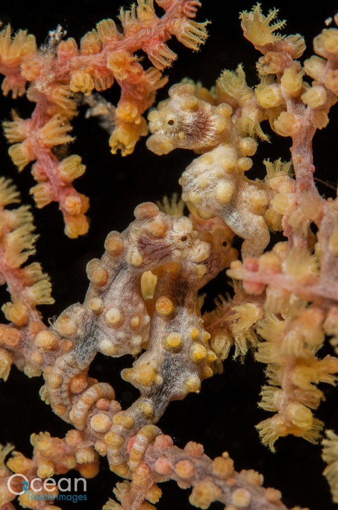 Three little pygmies.  Bargibant's pygmy seahorse in a yellow colour form.