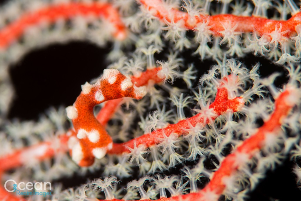 The red and white colour form of Denise's pygmy seahorse (Hippocampus denise), which is common in southern Raja Ampat.