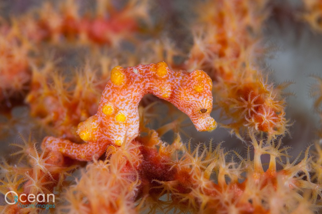 Of the ten types of gorgonians that I have found Denise's pygmy seahorse living with, I have seen three of them exclusively in Raja Ampat.