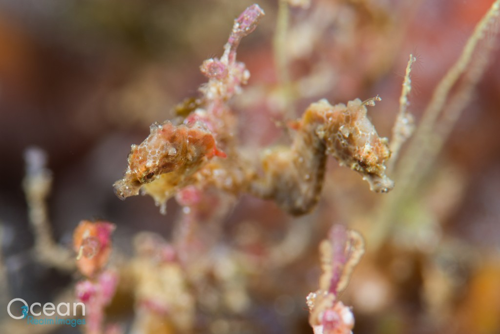 Brown colour form of Pontoh's pygmy seahorse (Hippocampus pontohi), which was previously considered a distinct species (H. severnsi).