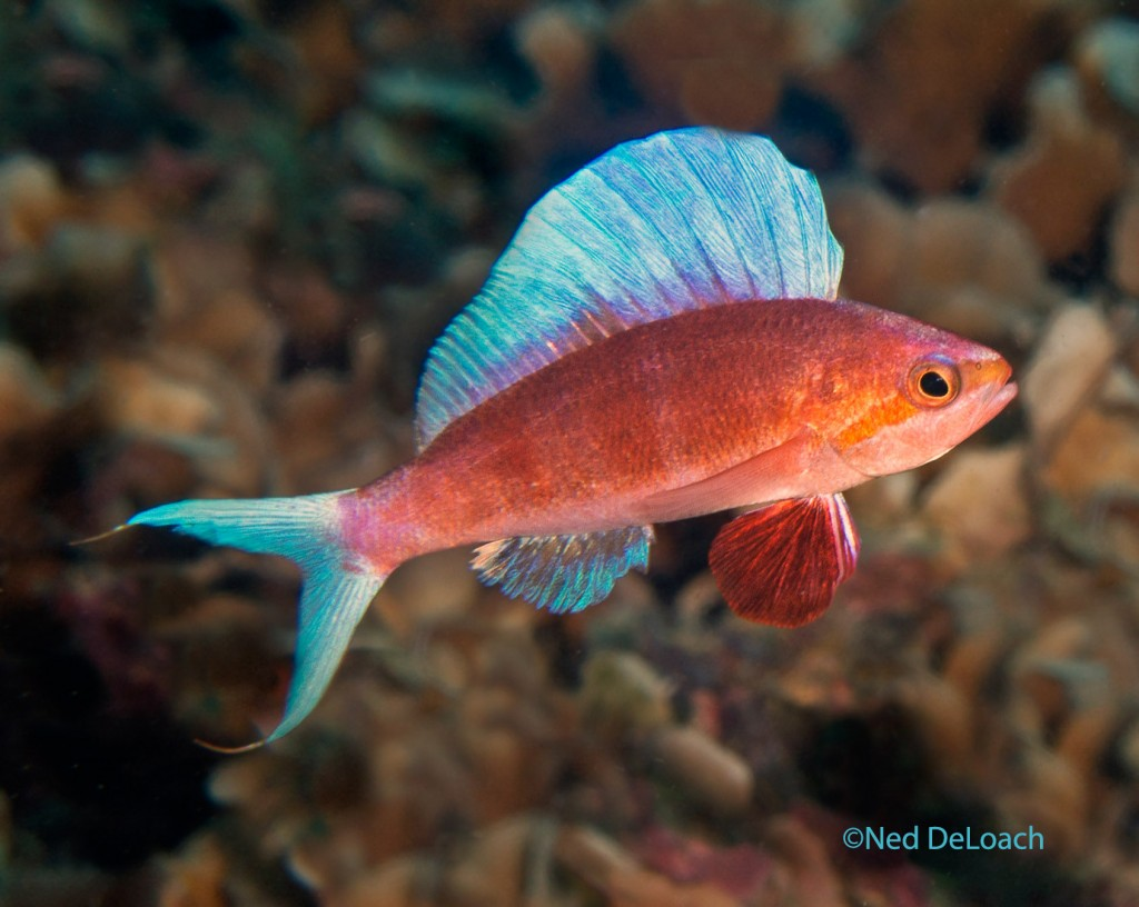 Sailfin Anthias, Rabaulichthys altipinnis