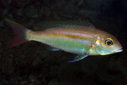 Scolopsis taenioptera