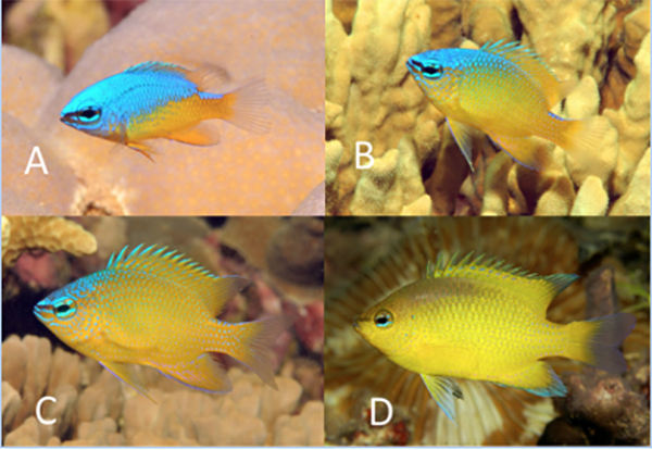 Life history stages of C. maurinae, where the neon blue crest in the juvenile gradually disappears to reveal a gorgeous lemon yellow adult. Photos GR Allen.