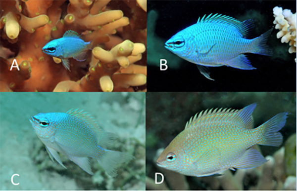 Life history stages of C. ellenae, showing the gradual change from neon blue juvenile to greenish-blue adults. Photos GR Allen.