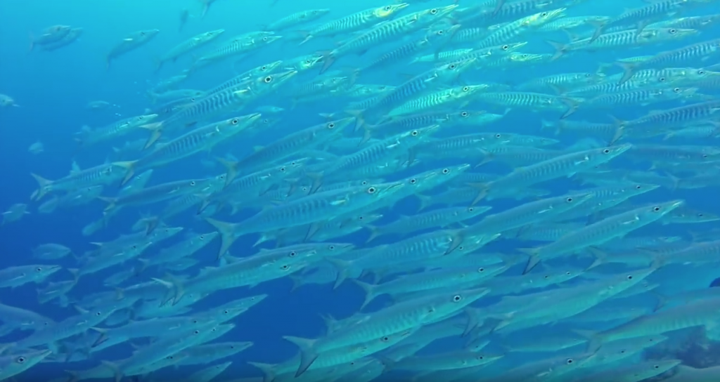 Schooling Chevron Barracuda (Video Capture)