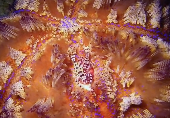 Commensal Coleman Shrimp on Fire Urchin (Video Capture)