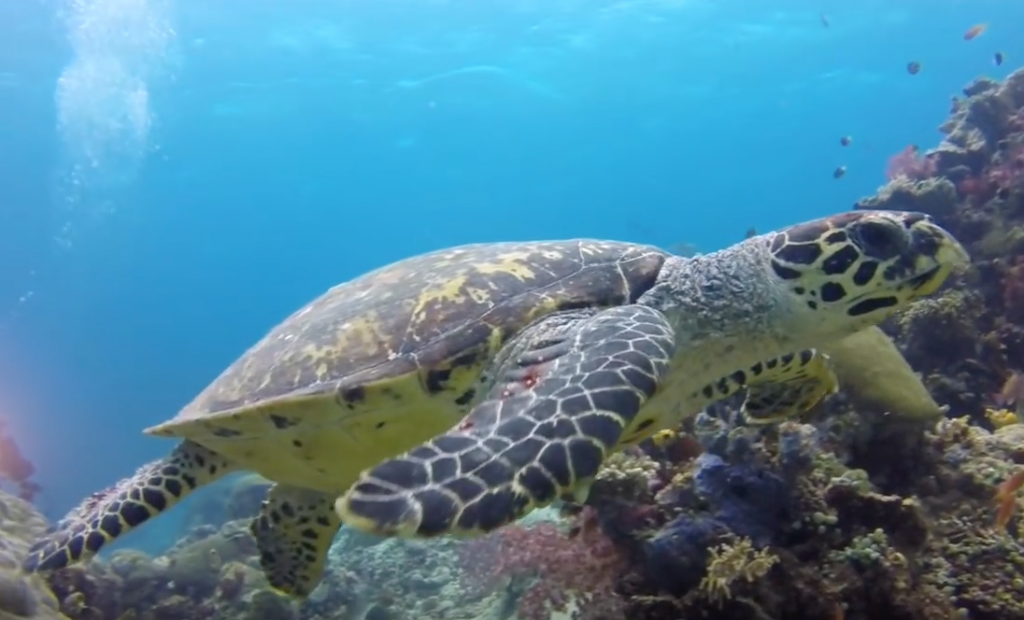 Endangered Hawksbill Turtle (Video Capture)
