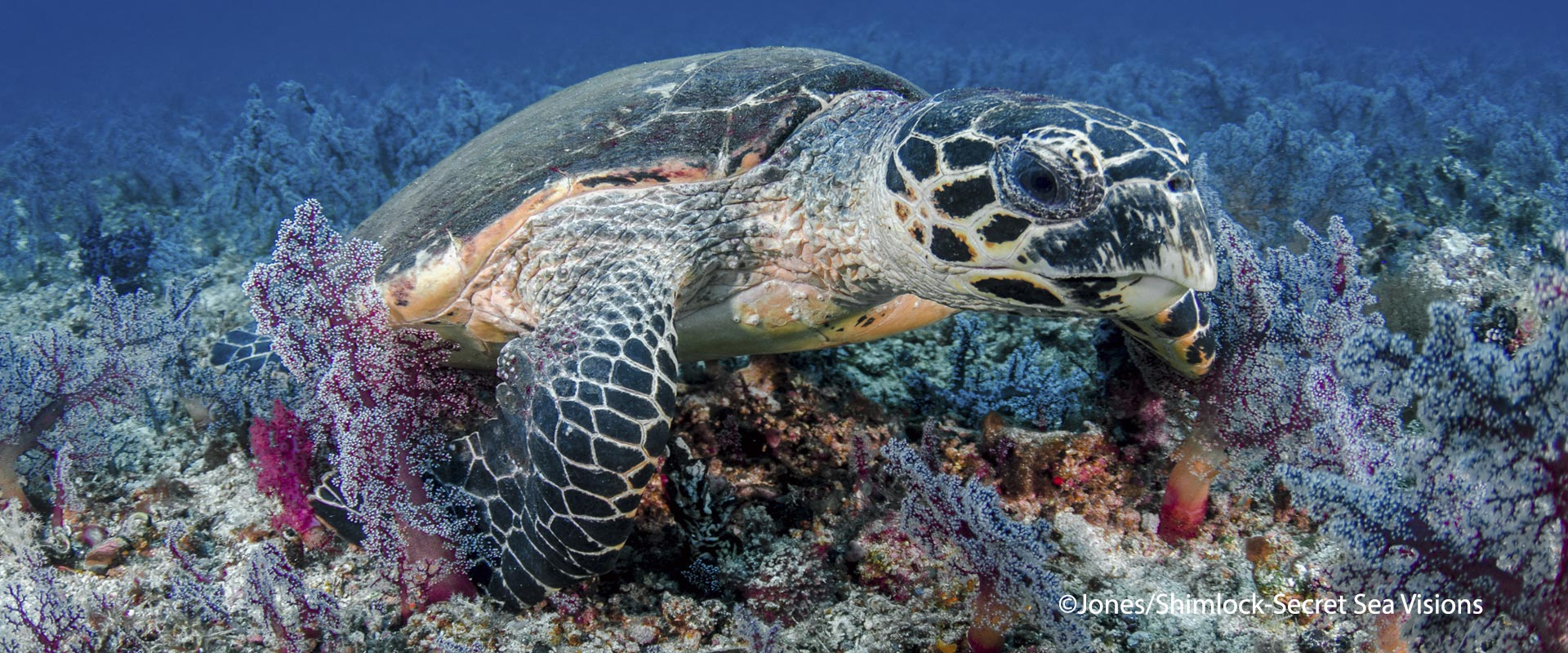 Sea-Turtle-Status-header