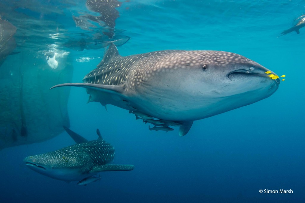 Whale sharks in Kwatisore Bay