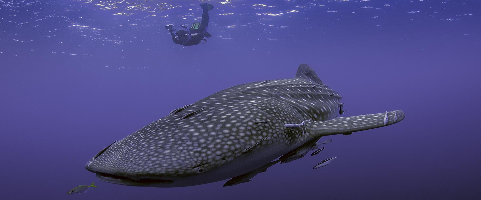 Susi-Whale-shark-header