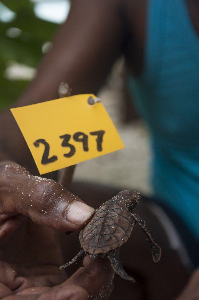 Tukik yang baru menetas dari sarang 2397