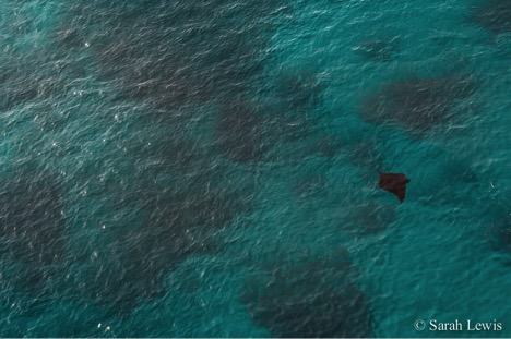 A surface feeding reef manta ray that was spotted from the helicopter at the Auri Islands