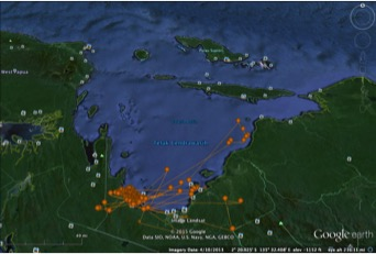 """Position data from the 4.5m whale shark """"Goris"""" tagged on 9 June 2015, showing movement along the northeast coast towards Yapen. NOTE: position marks on land are a result of occasional inaccuracies in satellite position fixes - not evidence of amphibious whale sharks!"""