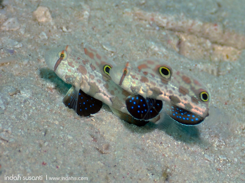Pair of Gobies with many common names; Signal, Four-eyed or Crab-eyed to name a few!