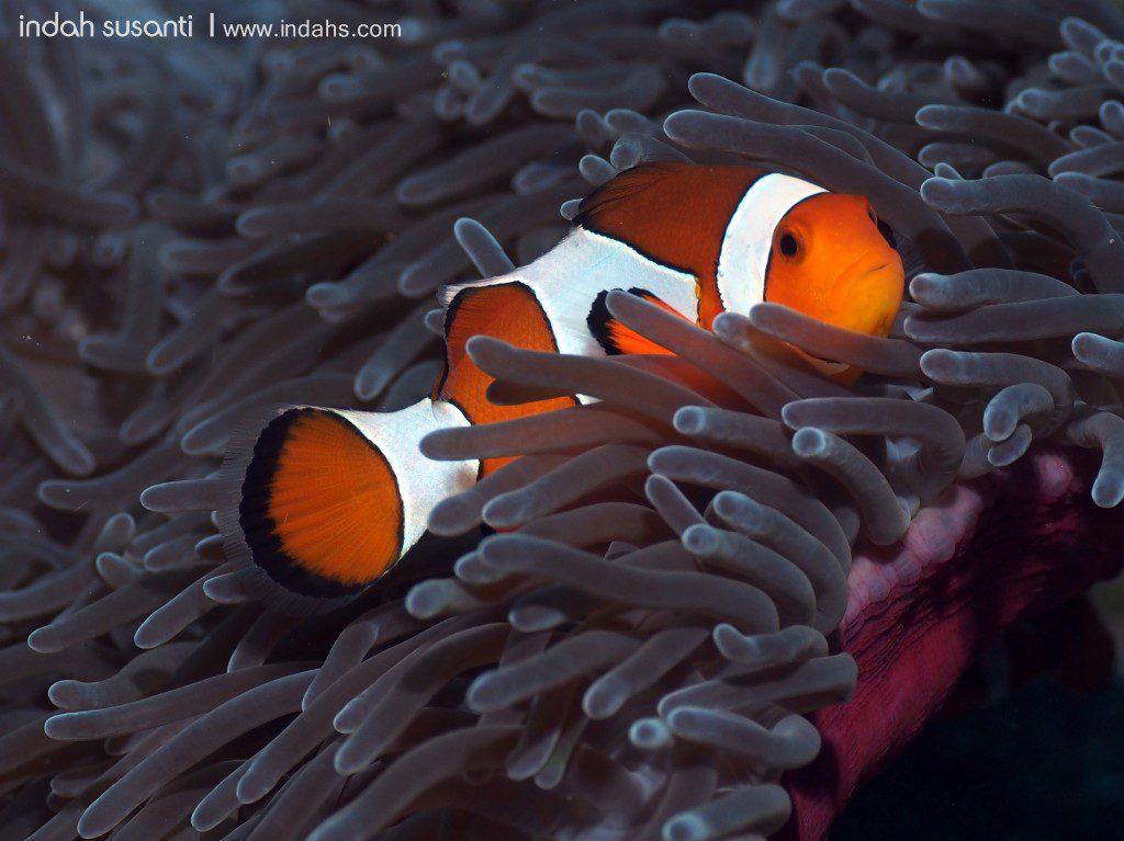 """""""Nemo"""" Clown Anemonefish"""