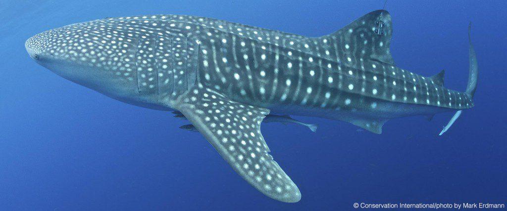WhaleSharkBling