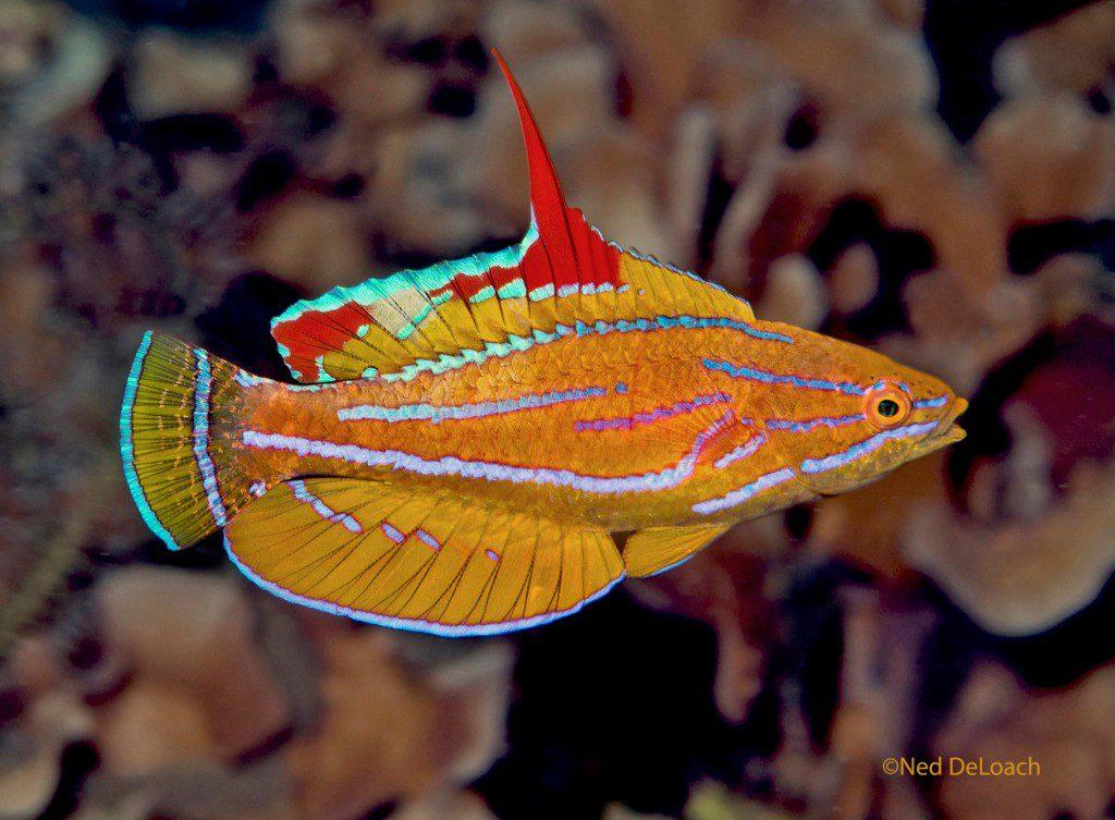 Yellowfin Flasherwrasse, Paracheilinus flavianalis