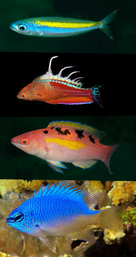 Cenderawasih Bay endemics (top to bottom): Pterocaesio monikae (Caesionidae); Paracheilinus walton (Labridae); Chrysiptera pricei (Pomacentridae); Cirrhilabrus cenderawasih (Labridae) © G. Allen