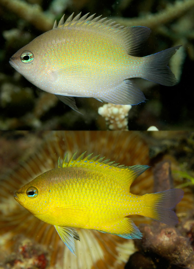 Color variation in Chrysiptera oxycephala: Raja Ampat (upper) and Cenderawasih Bay (lower) © G. Allen