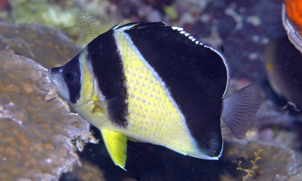 Yellow color variant of Chaetodon burgessi in 8 m depth © G. Allen