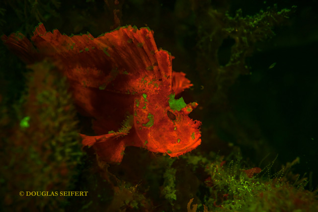 Magenta Leaf Scorpionfish at night under fluorescent light