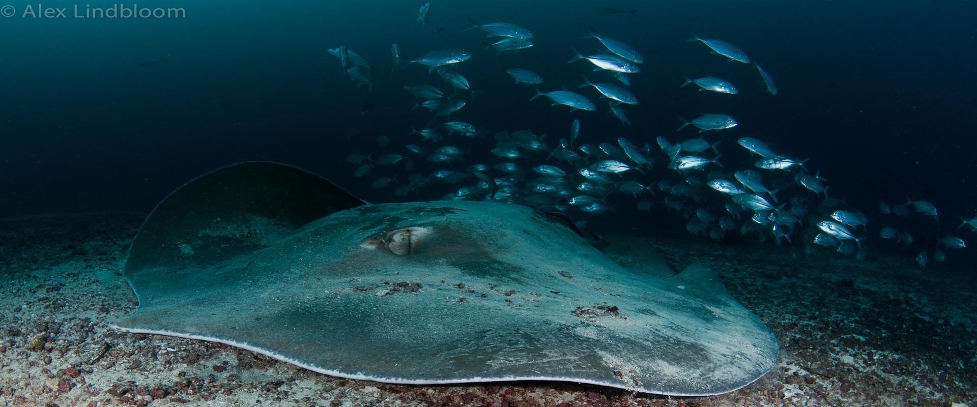 giant-stingray-header