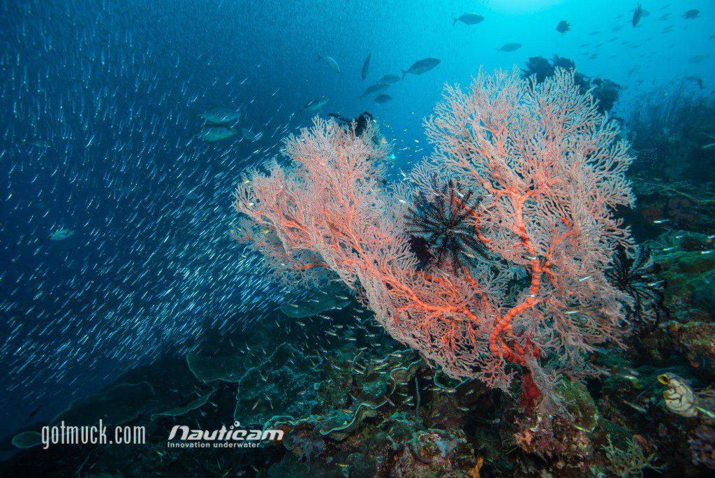 Reefscape w/ Trevallies feeding on Baitfish