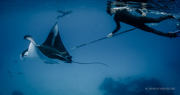 Manta Project's Calvin Beale tagging a manta ray